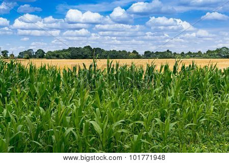 Green Maize Field And Blue Sky