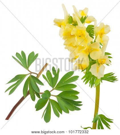 Medicinal plant: Corydalis bracteata