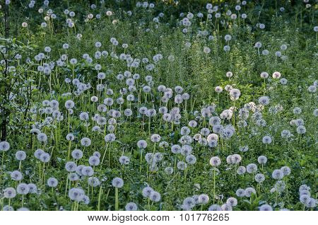 View of beauty dandelion (Tarataxum officinale) meadow