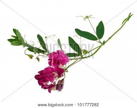 Hedysarum gmelinii