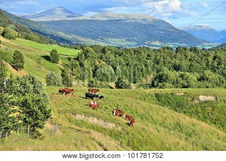 Cattle In Norway