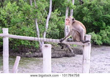 Crab-eating Macaque Monkey Siting On Bamboo Bridge In Mangrove Forest.