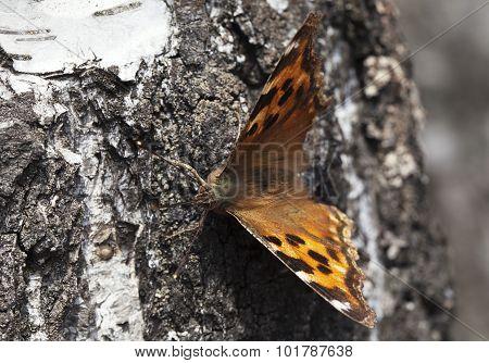 Vanessa Atalanta Butterfly