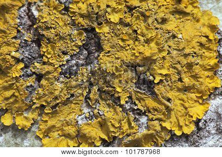 Lichen On A Tree