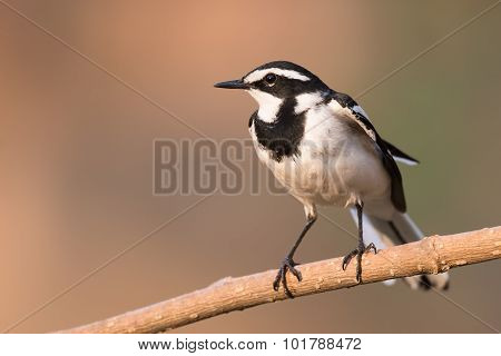 African Pied Wagtail (motacilla Aguimp) Perched On A Branch