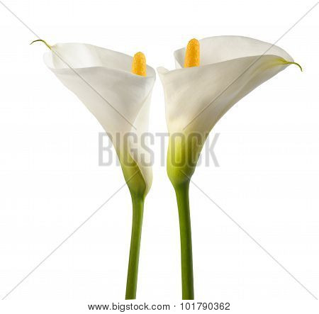 White Calla Lillies