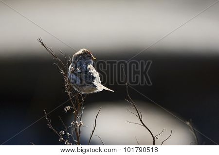 The Common Redpoll (carduelis Flammea)