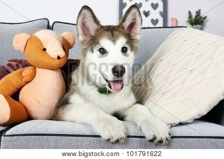 Cute Alaskan Malamute puppy with toy bear on sofa, close up