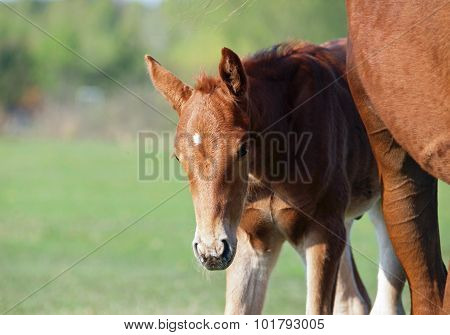 Chestnut foal with mare