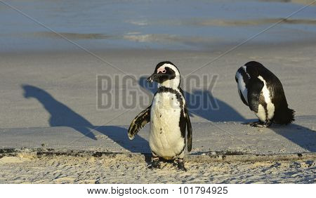 The African Penguin (spheniscus Demersus)