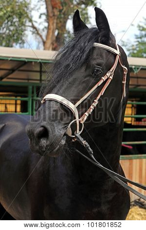 Portrait Of A Purebred Friesian Horse