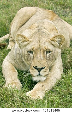 Lioness Lying And Staring Ahead