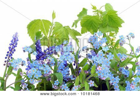 Isolated Forget-me-nots (myosotis)