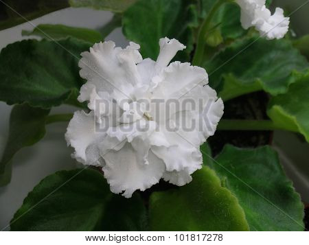 White saintpaulia flower