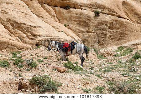 Bedouins horses in Petra Jordan