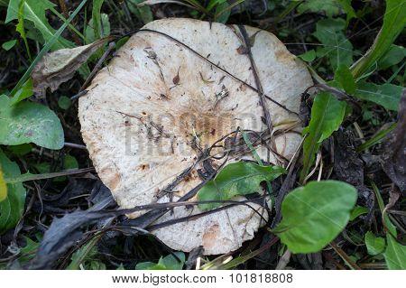 Saffron Milk Cap (lactarius Deliciosus) In A Pine Forest