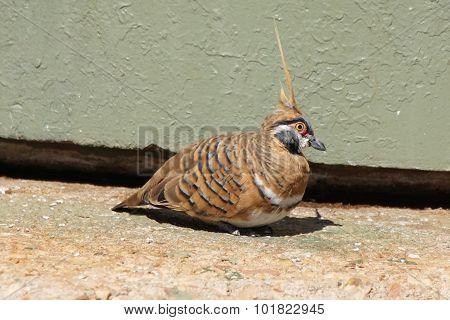 Spinifex Pigeon, Australia