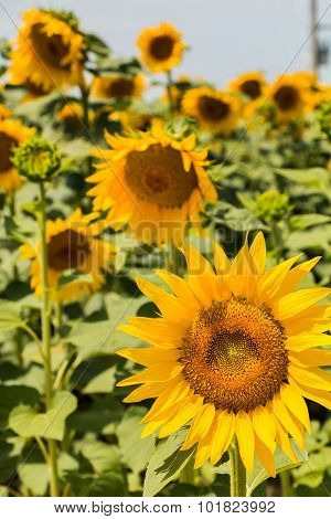 Field Of Blooming Sunflowers - Vertical