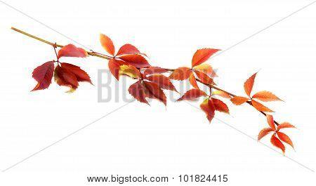 Red Autumnal Twig Of Grapes Leaves (parthenocissus Quinquefolia Foliage)