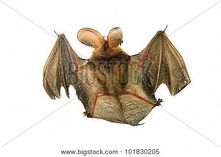 Bat Isolated On White.