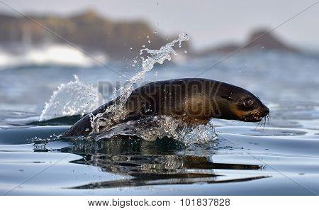 Jumping Cape Fur Seal (arctocephalus Pusillus Pusillus)