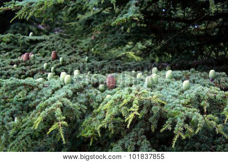 Pine cones on a Cedar of Lebanon