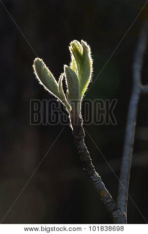 Spring Leaves In Backlight