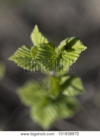 Young Raspberry Leaves