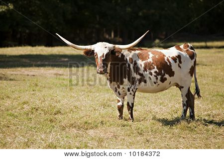 Texas Longhorn Cow In Meadow