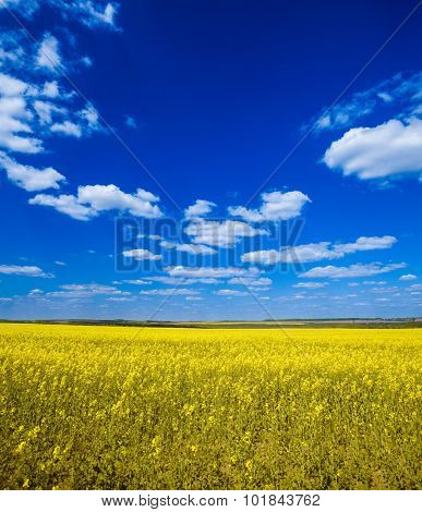 Field with flowering yellow oilseed rapeseed and bright blue sky with clouds