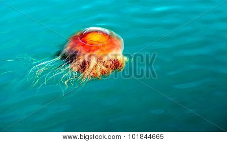 Orange Brown Jellyfish Reserrection Bay Alaska Sea Wildlife
