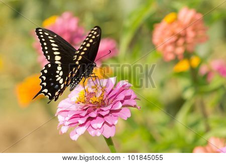 Eastern Black Swallowtail butterfly feeding on a pink Zinnia in summer garden