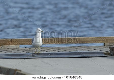 Gull Walks On Dock.