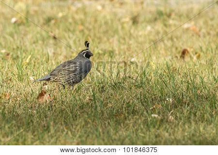 California Quail In The Grass.