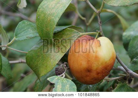 Ripe Of Indian Jujube Fruit