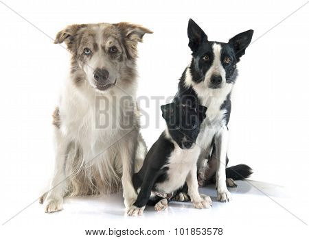 Family Border Collie