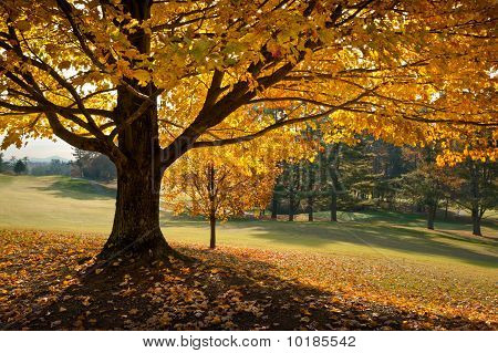 Golden Fall Foliage Autumn Yellow Maple Tree Season