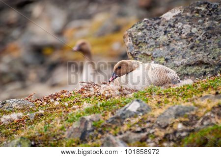 Grater White Fronted Goose Nesting
