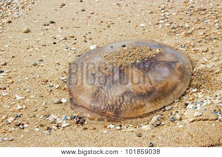 Jelly Fish On Sand