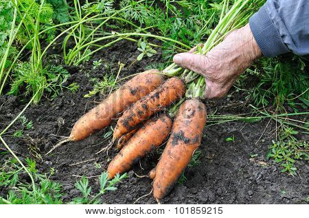 Farmer Hold Freshly Harvested Ripe Carrots
