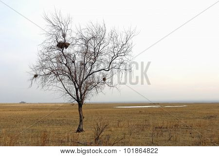 Lonely Tree With Nests. Steppe.