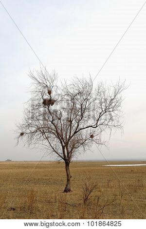 Lonely Tree With Nests