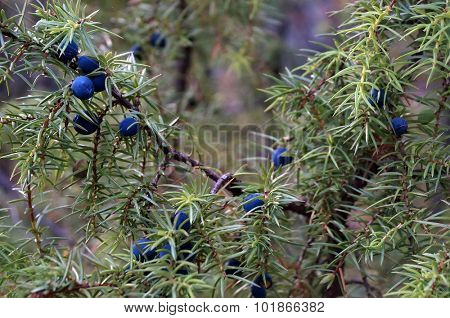 blue cone berries and needles of common juniper Juniperus communis