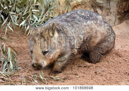 Wombat quadrupedal marsupials native to Australia walks in its natural habitat. Full length