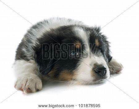 Puppy Australian Shepherd