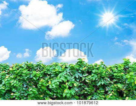 Hedge And  Blue Sky With Sun Beam
