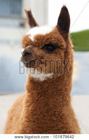Close up of brown Lama