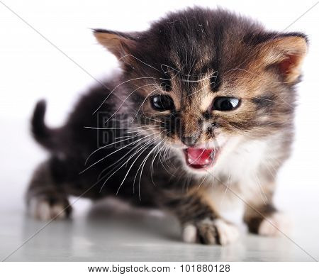 Kitten With Mouth Open Meowing