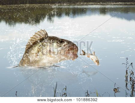 Big river perch (Perca fluviatilis). River predator