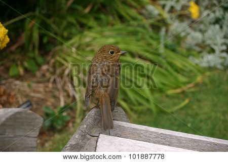 Young robin on bench